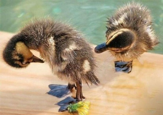 Caption ducks