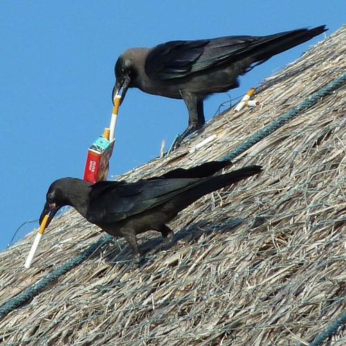 Smoking crows