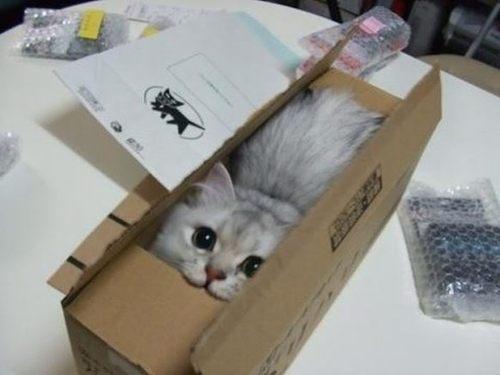 Carton kitten
