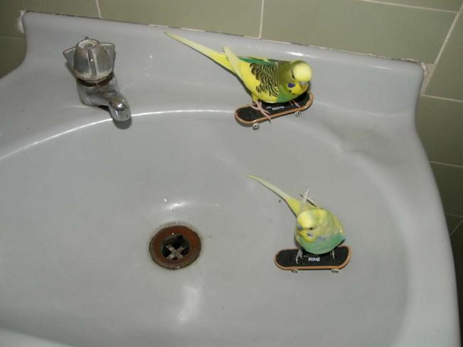 Skatboard parakeets