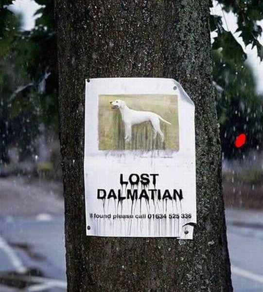 Lost dalmatian