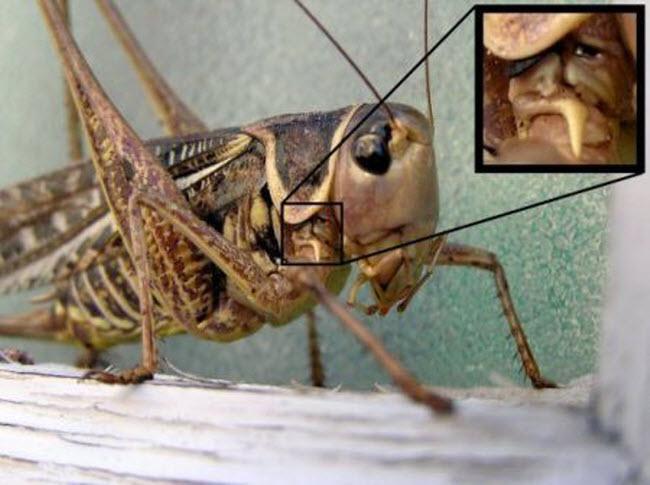 Grasshopper-cowboy2