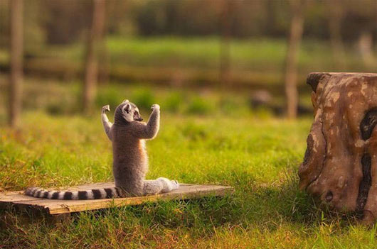 Raccoon muscles