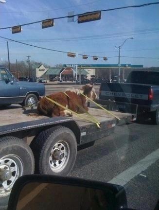Carga de touro