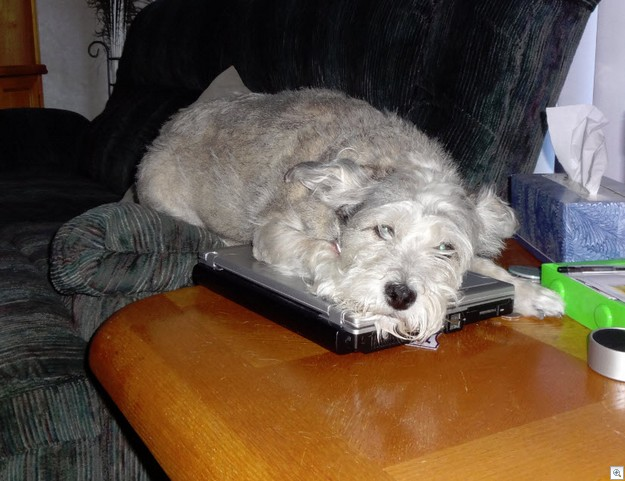 Trixie laptop dog