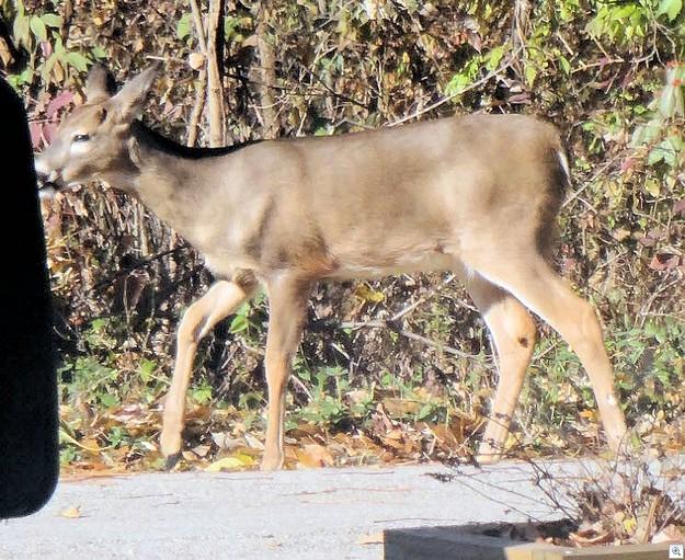 Deer 1113c