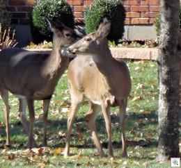 Deer 1113e