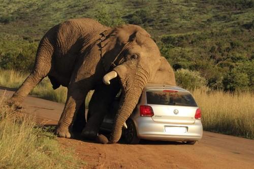 An elephant in love_2
