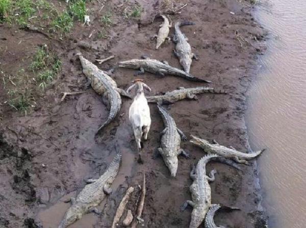 Brave goat